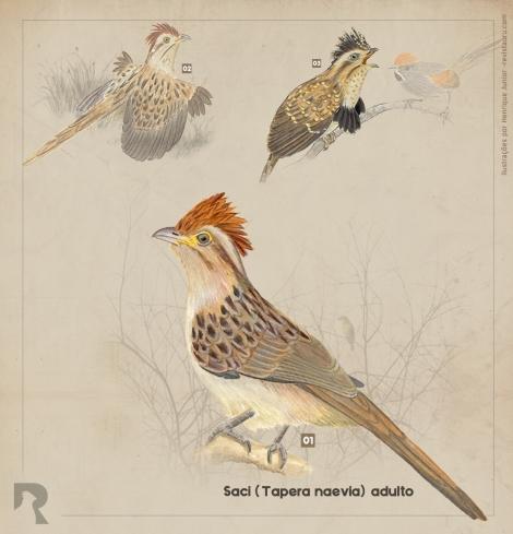 Saci-Tapera-Naevia-Striped-Cuckoo